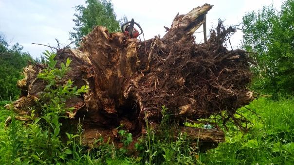 Голова льва из цельного корня дерева  Автор: Сергей Федяев