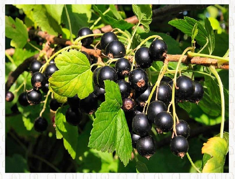 Чёрная смородина даст обильный урожай крупных ягод, если весной провести необход...