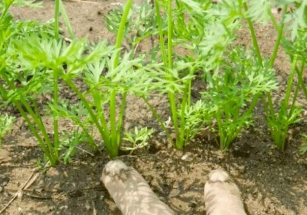 НЕОБЫЧНЫЙ СПОСОБ ПОСАДКИ МОРКОВИ  Перед посевом семена моркови ссыпьте...