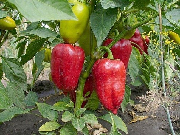 Перец - привередливое растение, которое при неправильном уходе...