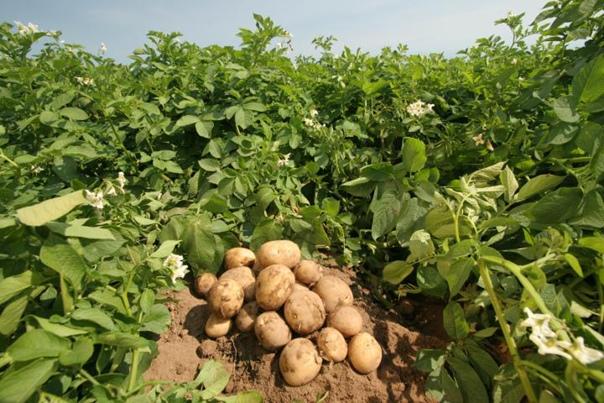Девять советов по выращиванию картофеля. Сохраните к себе на...