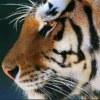 Tigermonitor