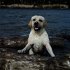 Лабрадоры|Фильмы - собаки актёры