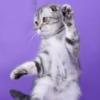 Шотландские вислоухие котята | кошки | Пермь