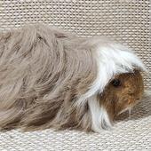 Перуанская самка (длинная шерсть)