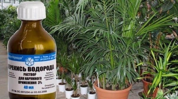 Как подготовить раствор перекиси водорода для полива растений?