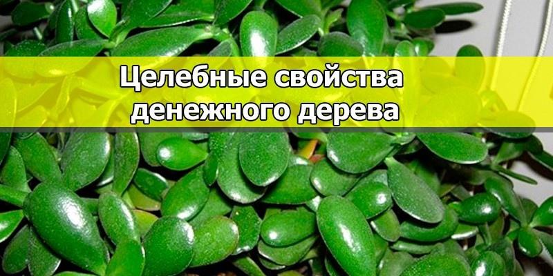 Применение лечебных свойств денежного дерева в народной медицине Лечебные свойства денежного дерева.