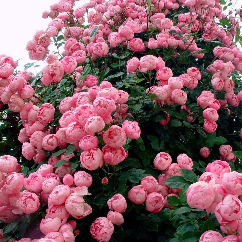 Плетистая роза Raubritter