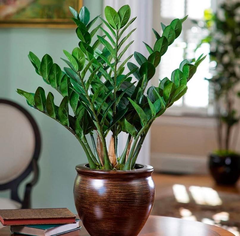 Замиокулькас является еще одним денежным деревом, только в этом случае он притяг...