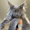 RESIDENT SOCHI питомник кошек Мейн кун в г.Сочи