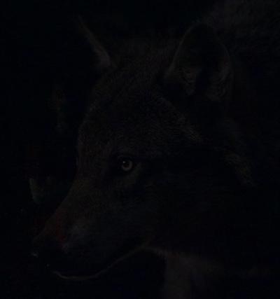 Степной Волк, Абакан