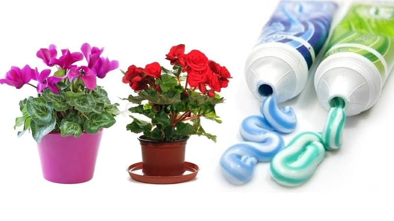 Зубной порошок и паста в качестве подкормки для Ваших растений.