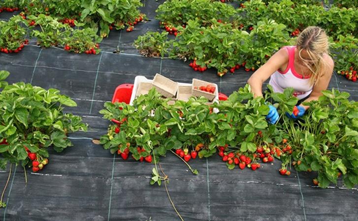 В Германии научились выращивать клубнику особым способом, прокладывая ряды солом...