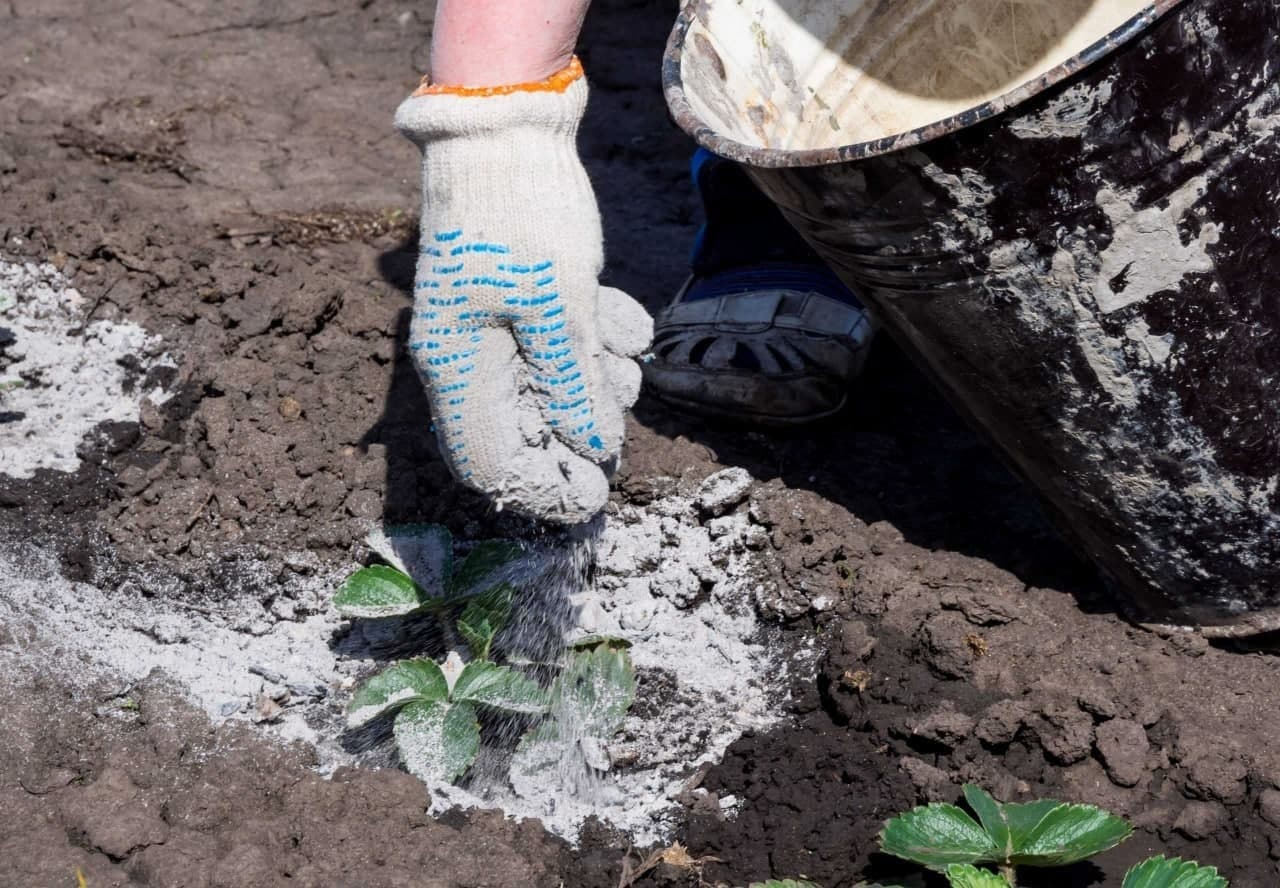 Как правильно использовать золу для защиты от вредителей?