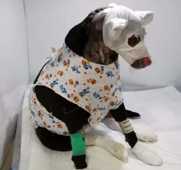 Хозяйка бросилa свою беpеменную собакy, которая обгорелa, когда пыталаcь спасти ее из пожаpа