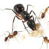 Camponotus cf. fellah (Феллахи)