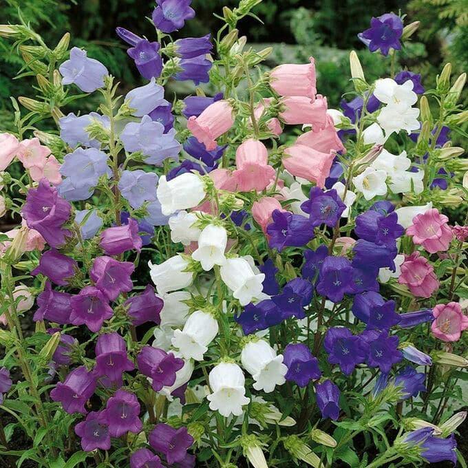 Как ухаживать за садовыми колокольчиками?
