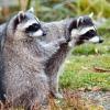Raccoon's Group