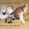 Шотландские котята, мейн-кун. Ritkindom