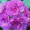 Продажа цветов, многолетних и хвойных растений