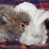 Немецкие ангорские кролики. Чебрик и Лапка.