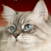 Невские маскарадные и сибирские котята для вас