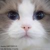CHIFFONDELUX / Питомник кошек РЭГДОЛЛ / RAGDOLL